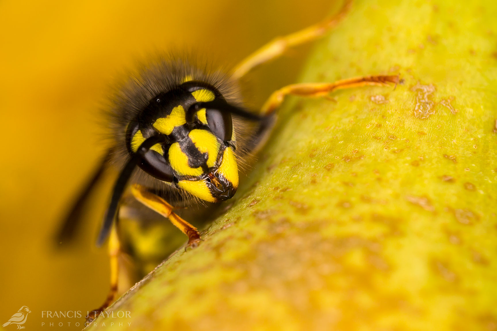 Common Wasp On A Pear