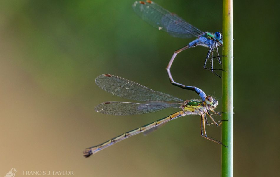 Emerald-Damselflys