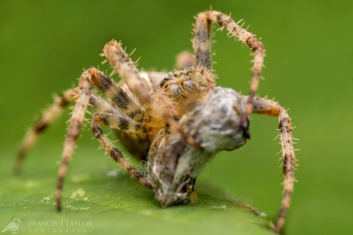 Garden Spider With Prey
