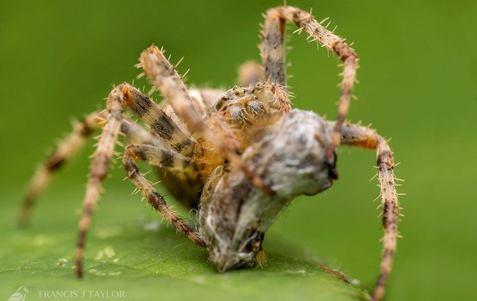 European-Garden-Spider-2