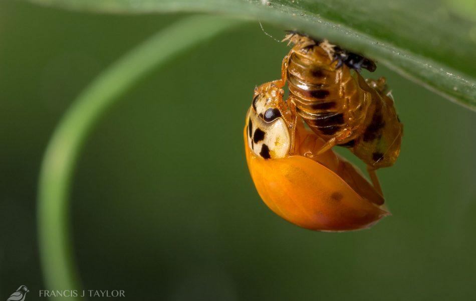 Hatching-Ladybird