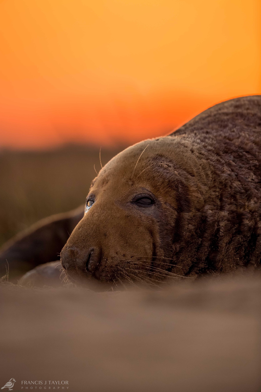 Grey-Seal-Bull-Sunset