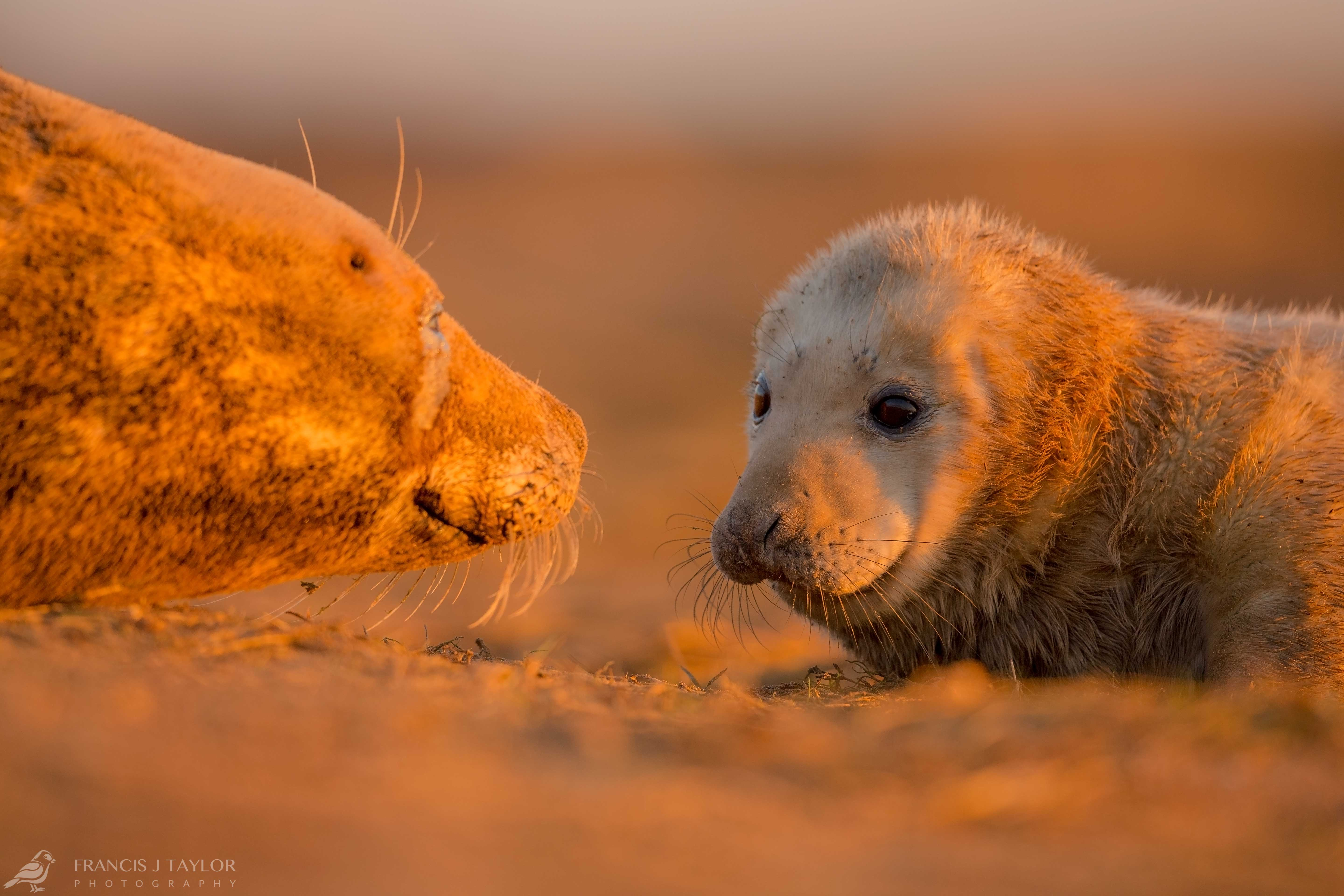 Grey-Seal-Mother-and-Pup