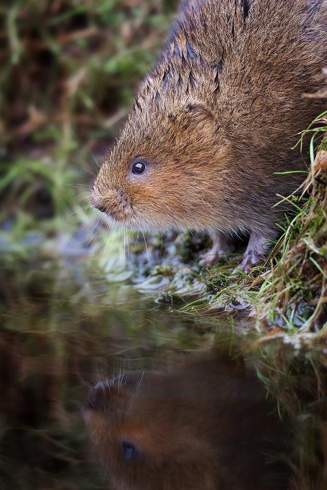 Peak District Water Vole Reflection