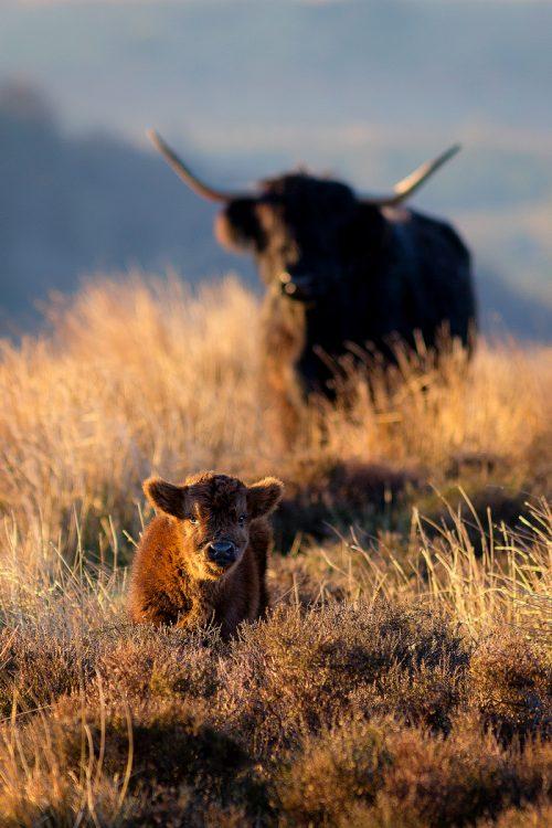 Peak District Highland Cattle