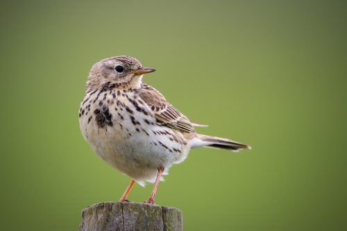Peak District Meadow Pipit