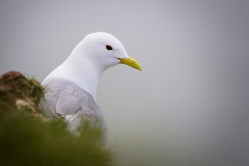 Bempton Cliffs Kittiwake