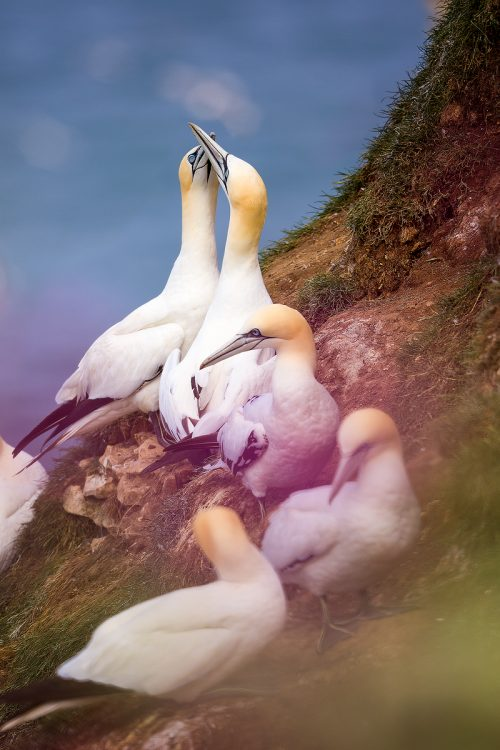 Bempton Cliffs Gannet Group