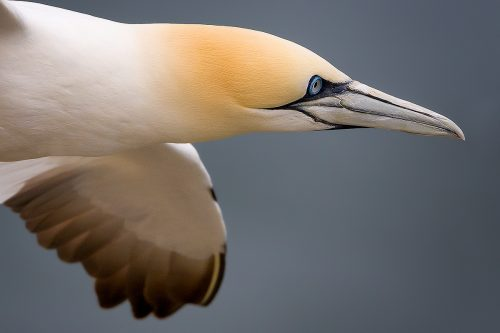 Bempton Cliffs Gannet in Flight