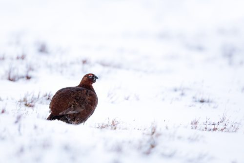 Snowy Red Grouse