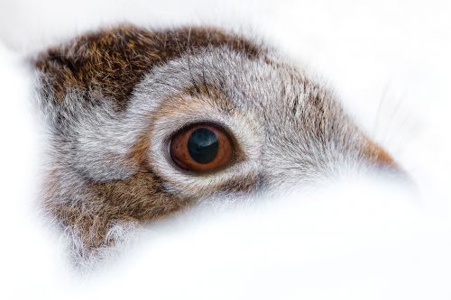 Peak District Winter Mountain Hare