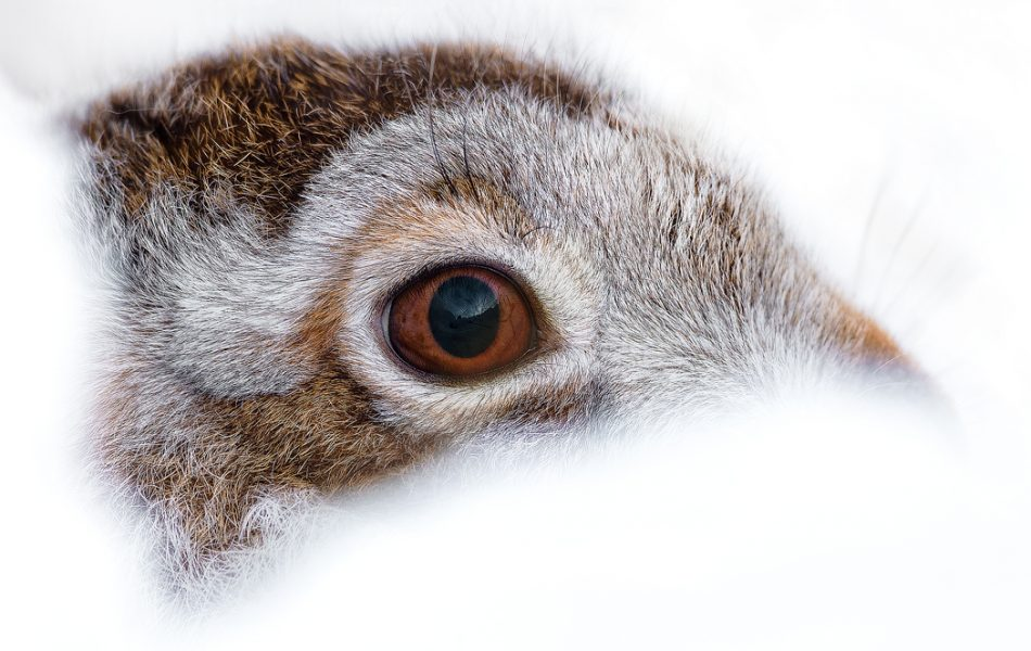 Derbyshire Mountain Hare - Peak District Wildlife photography courses