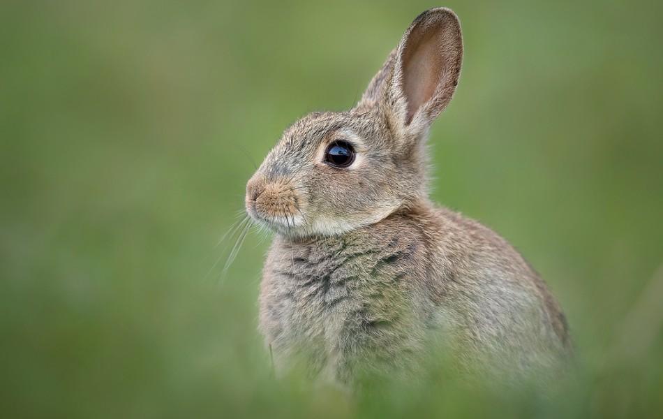 Derbyshire Rabbit - Peak District Wildlife Photography