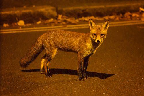 Portrait of an Urban Fox