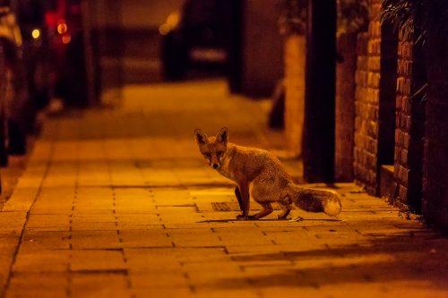 Scent Marking Urban Fox