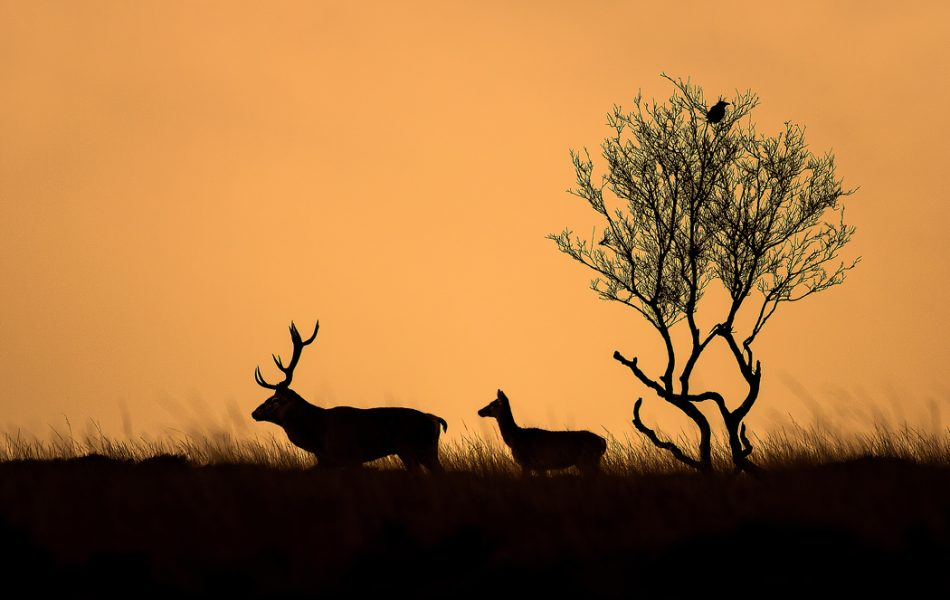 silhouette of a Red Deer stag and doe at dawn - Peak District Wildlife Photography