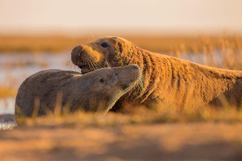 Grey Seal Habitat, Cow and Bull