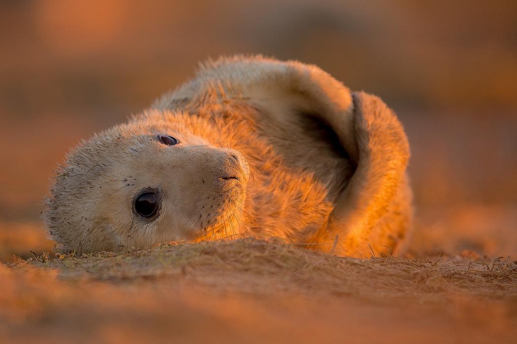 Sunset Grey Seal Pup