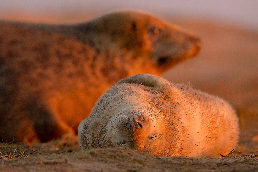 Grey Seal Mother and Baby