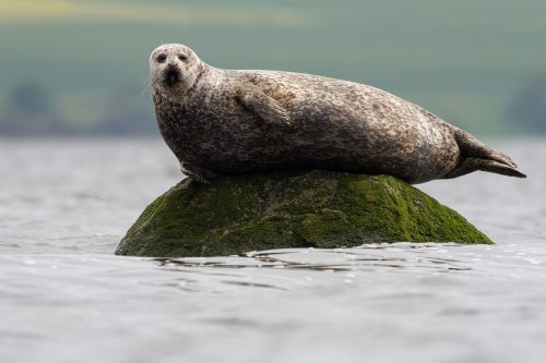 Cromarty Firth Common Seal