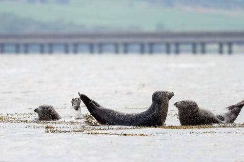 Cromarty Firth Common Seals