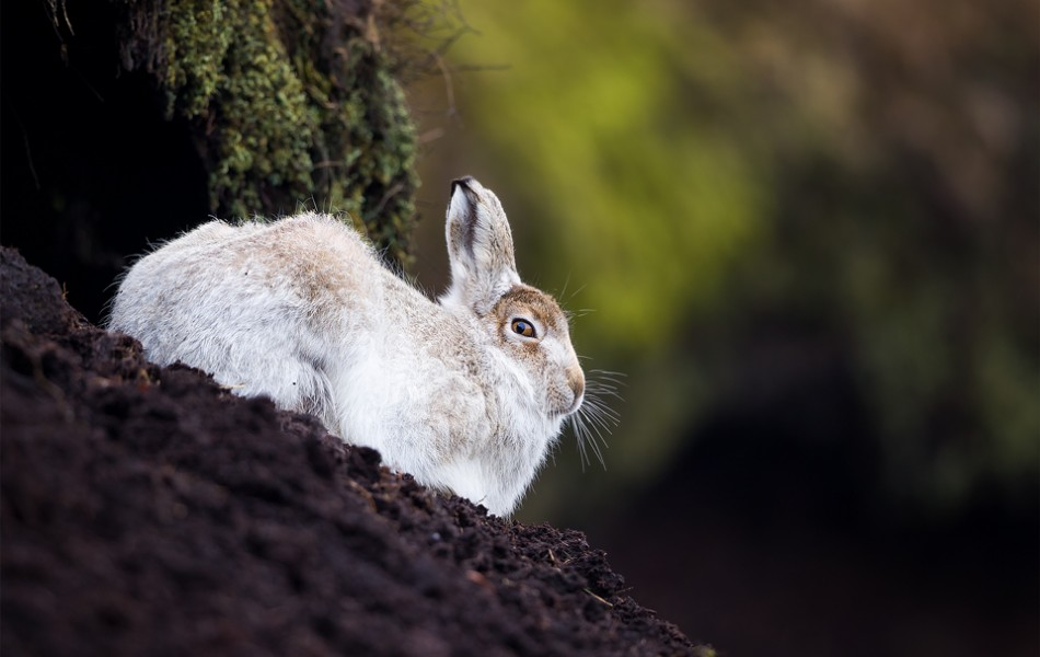 Derbyshire Mountain Hare - Peak District Wildlife photography