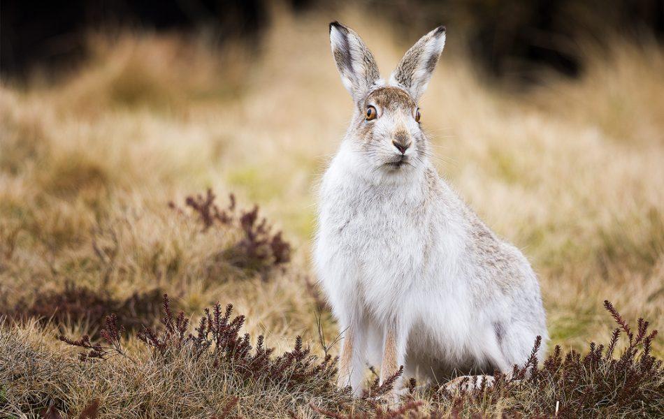 Peak District Mountain Hare - British Wildlife photography