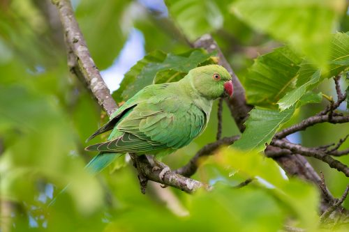 Ring-necked Parakeet London