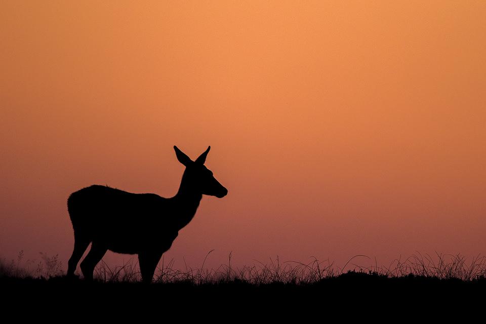Sunset Doe Silhouette