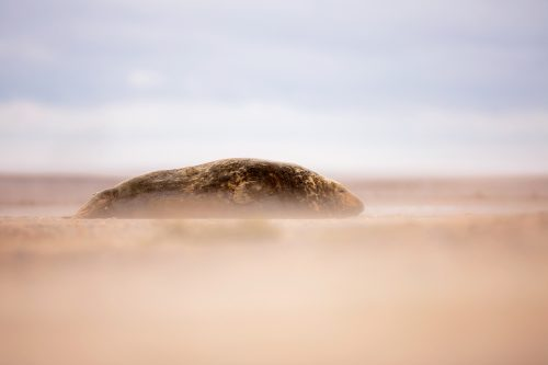 Grey Seal Bull In A Sandstorm
