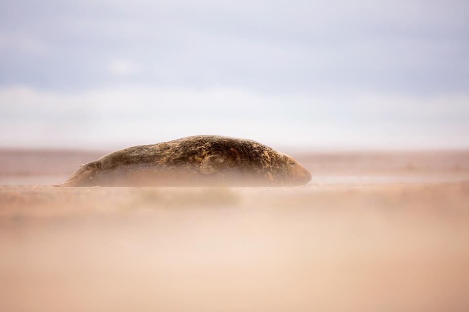 Grey Seal Bull In A Sandstorm