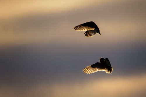 Short-eared Owls Socialising