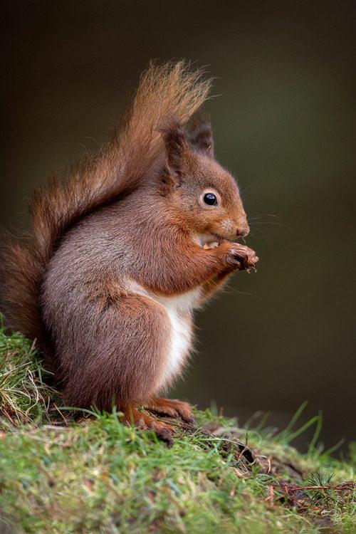 Red Squirrel Portrait