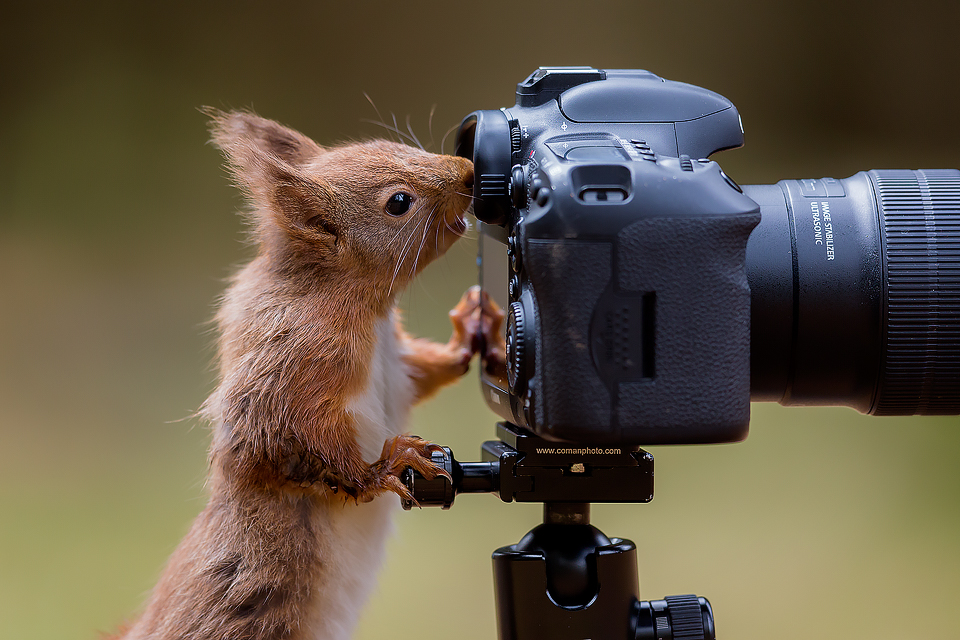 Red Squirrel – Furry Red Assistant