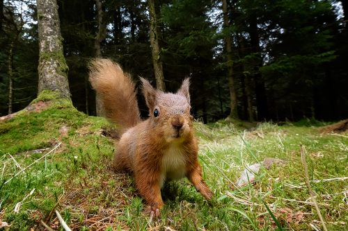 Red Squirrel – Up Close and Personal
