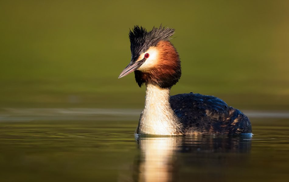 Great crested grebe portrait