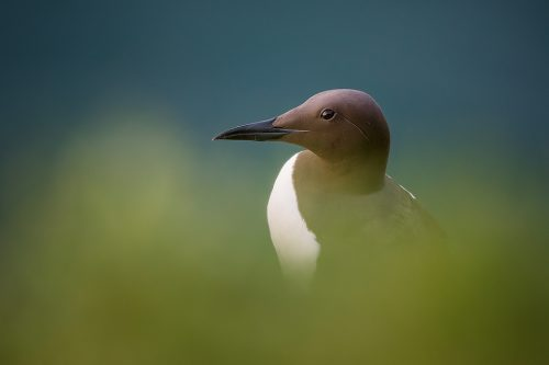 Guillemot Portrait