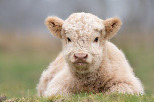 White Highland Calf