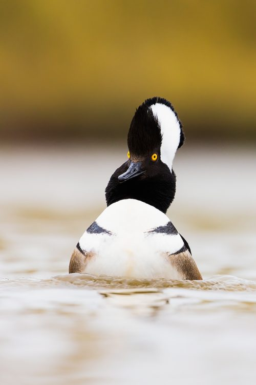 Displaying Hooded Merganser