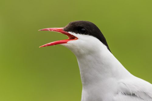 Artic Tern Close Up
