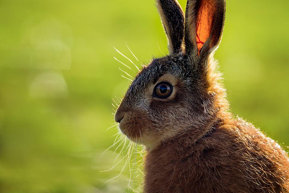 Backlit Brown Hare Leveret