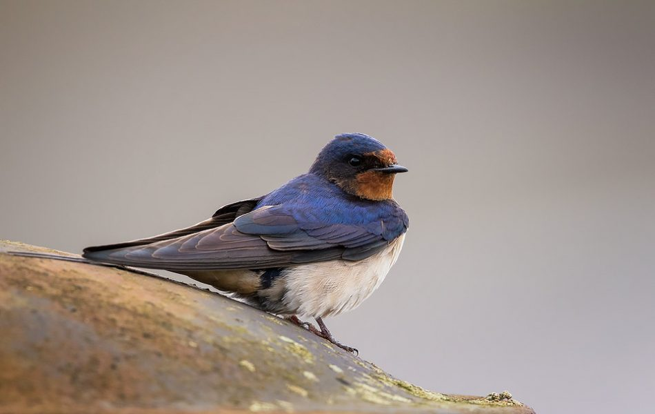 Swallow - Peak District Wildlife Photography