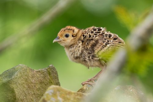 Baby Pheasant – Peak District Wildlife Photography