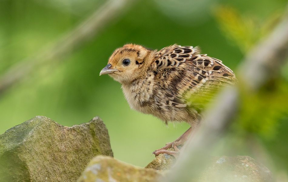 Baby Pheasant on a drystone wall - Peak District Wildlife Photography