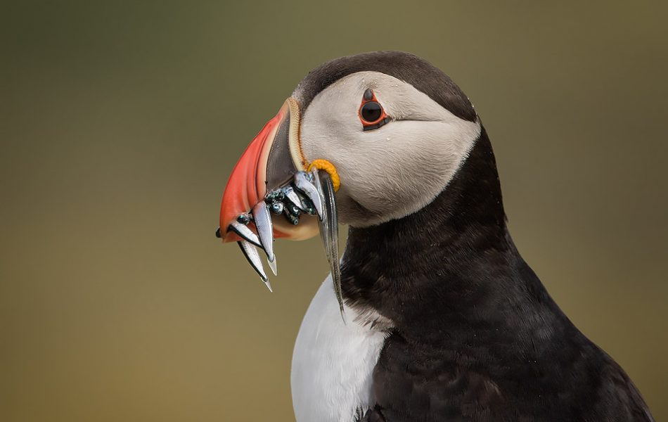 Puffin with a beak full of Sand eels.