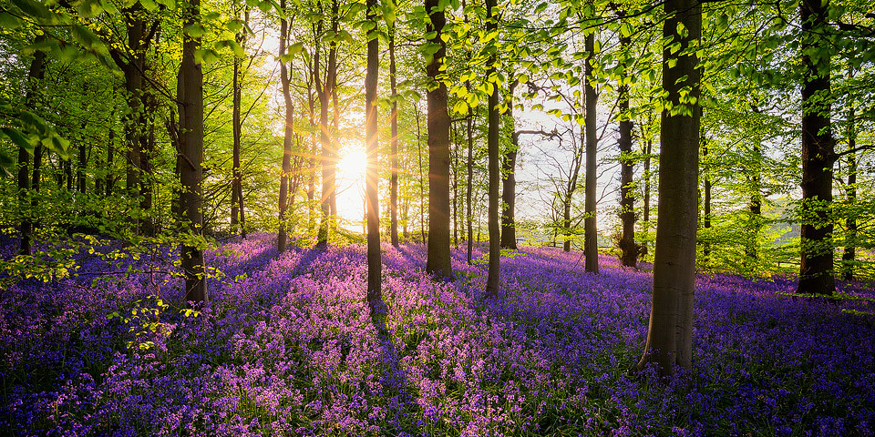 Bluebell Woods at sunset - Nottinghamshire Photography