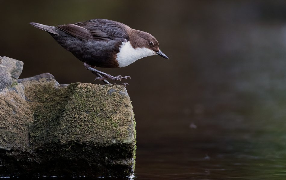 Dancing Dipper - Peak District Wildlife Photography
