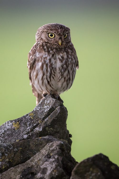 Little Owl Stare – Peak District Wildlife Photography
