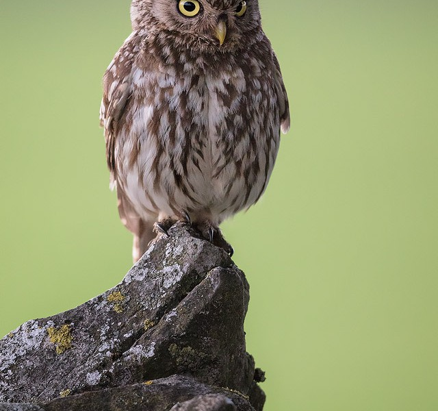 Little Owl Stare - Peak District Wildlife Photography