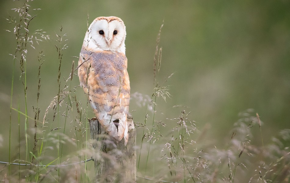 Barn Owl perched on a fenced post - Peak District Wildlife Photography